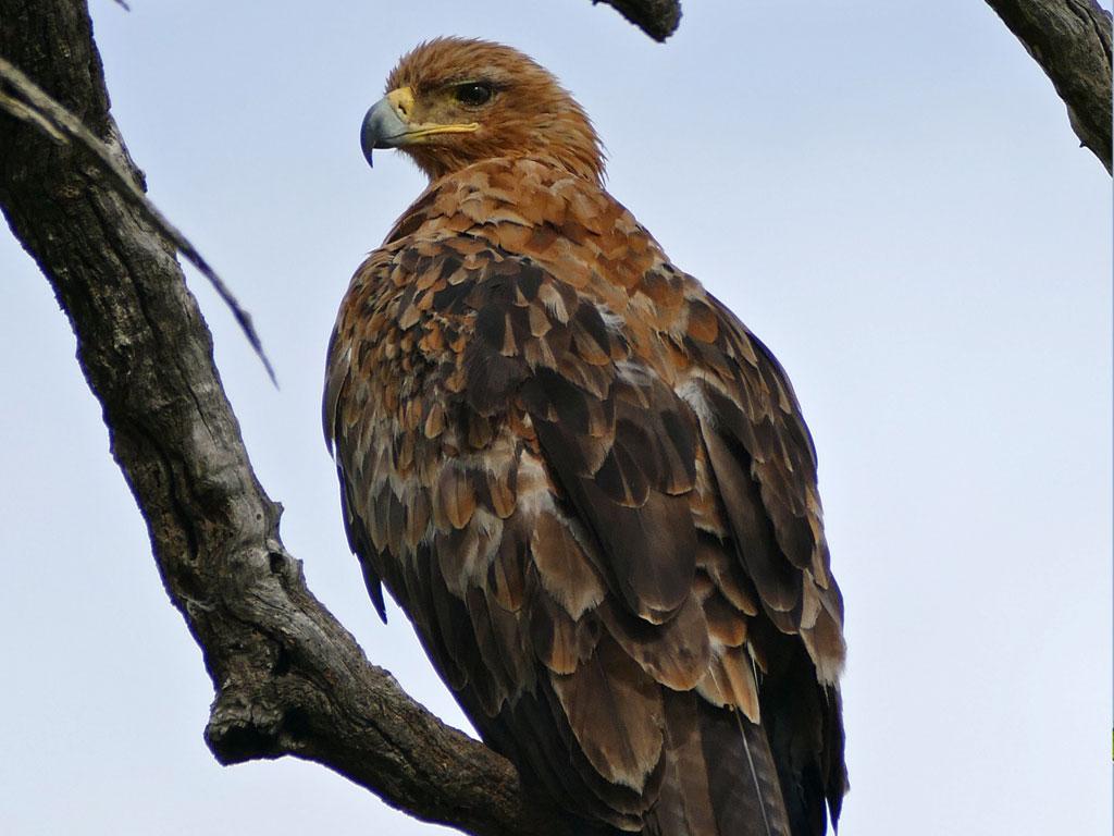 Eagle captor (Aquila rapax)