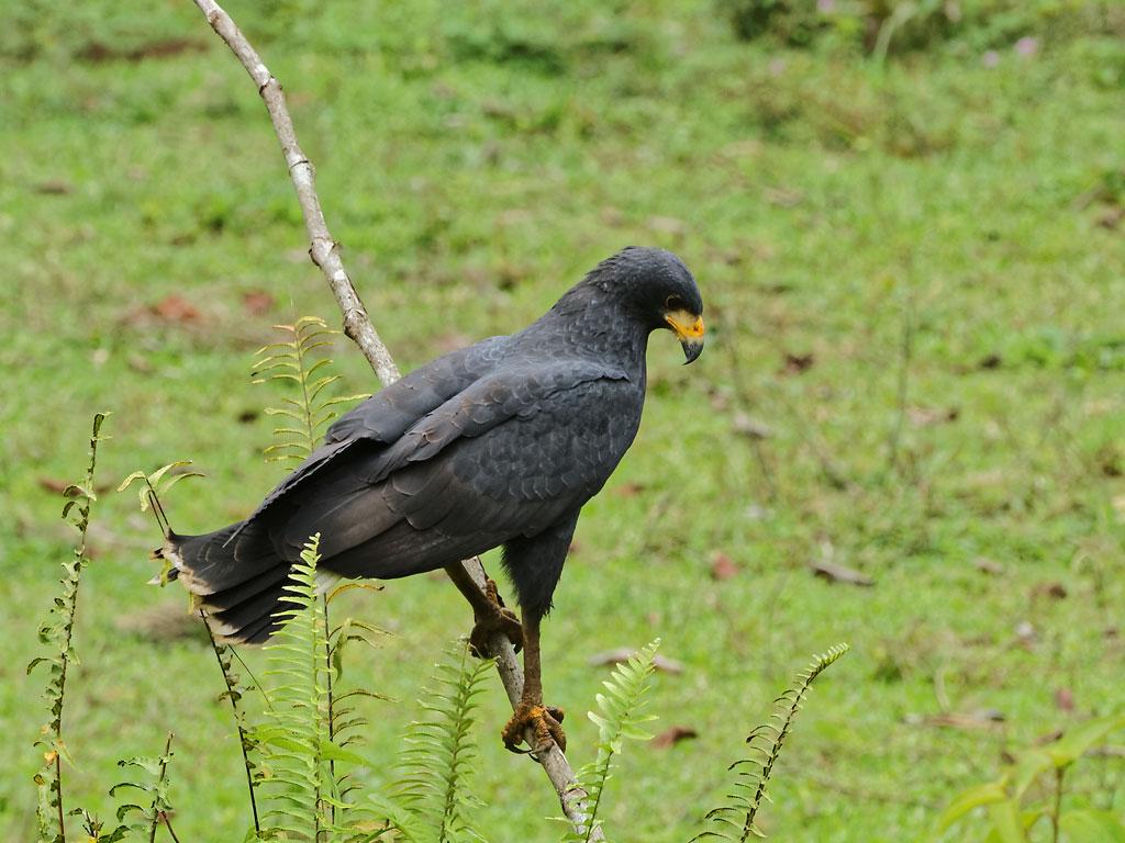Solitary Hawk (Buteogallus solitarius)