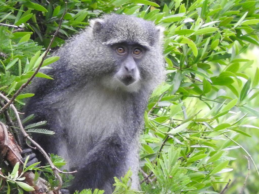 Samango monkey (Cercopithecus mitis ssp labiatus)