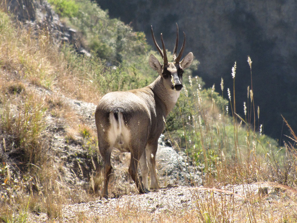 Cerf andin (Hippocamelus antisensis)