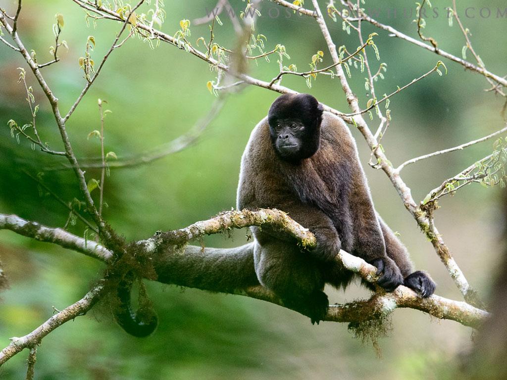 Peruvian woolly monkey (Lagothrix cana)