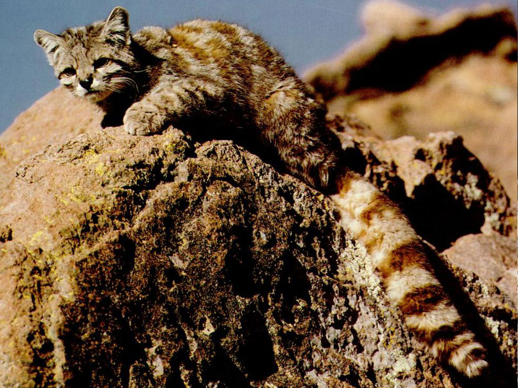 Andean cat (Leopardus jacobita)