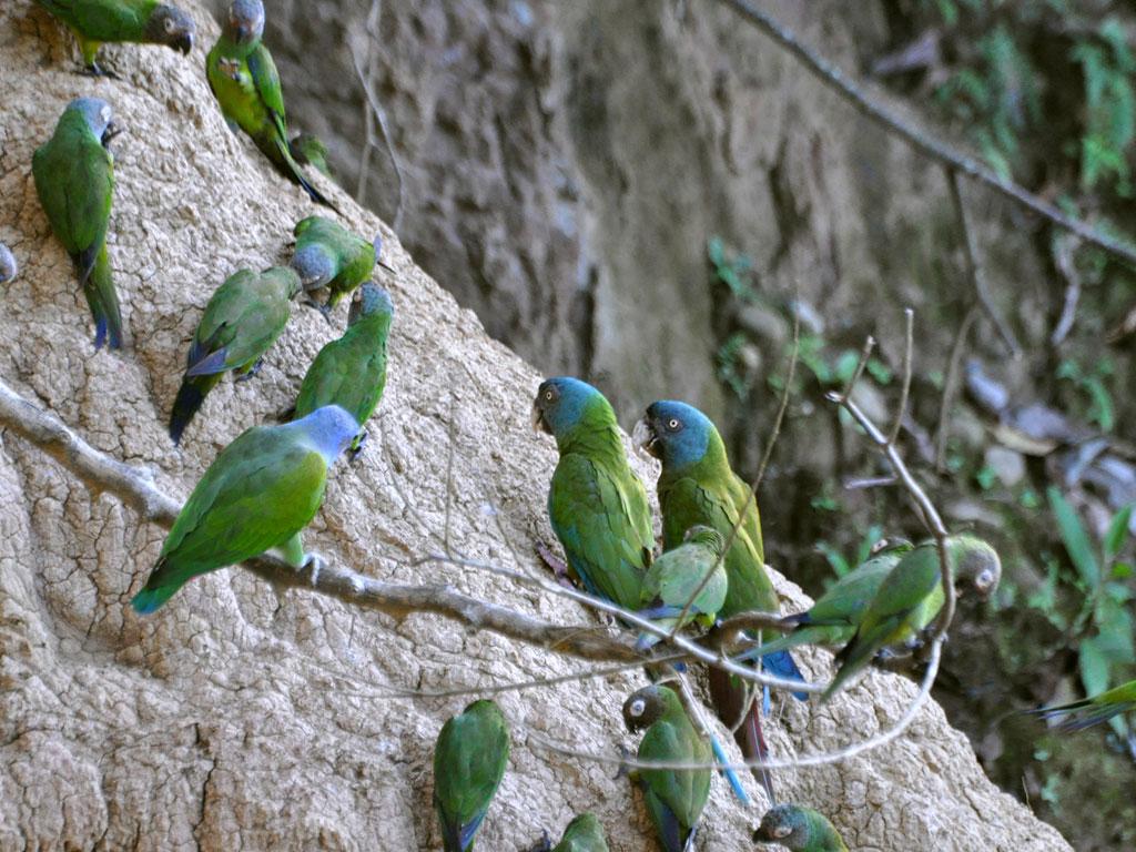 Spring macaw (Primolius couloni)