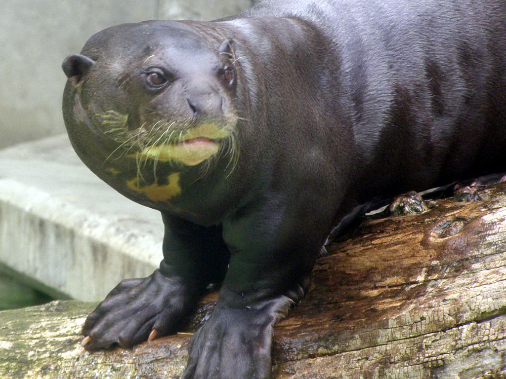 Giant otter (Pteronura brasiliensis)