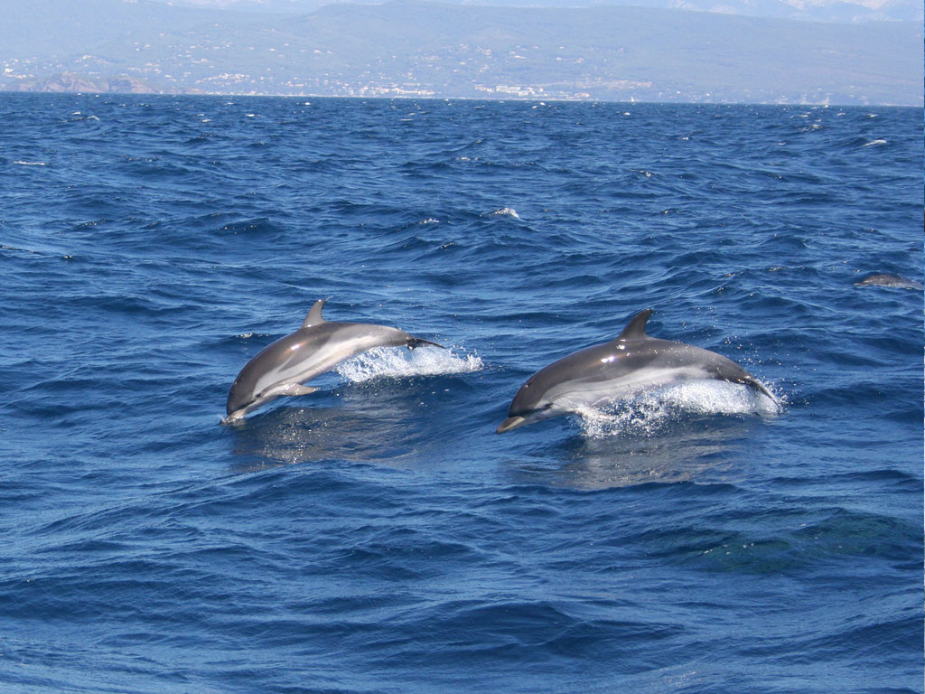Blue and white dolphin (Stenella coeruleoalba)
