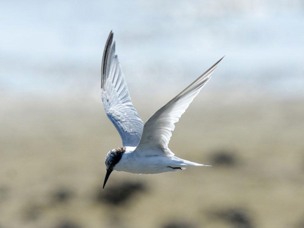 Whaling tern (Sternula balaenarum)