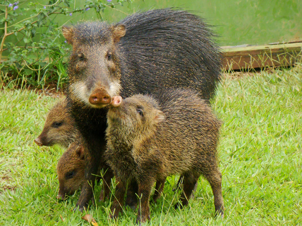 Peccary with white lips (Tayassu pecari)
