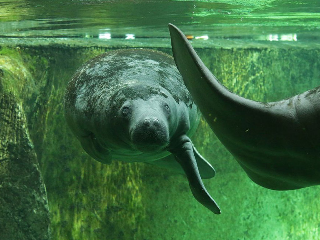 African manatee (Trichechus senegalensis)