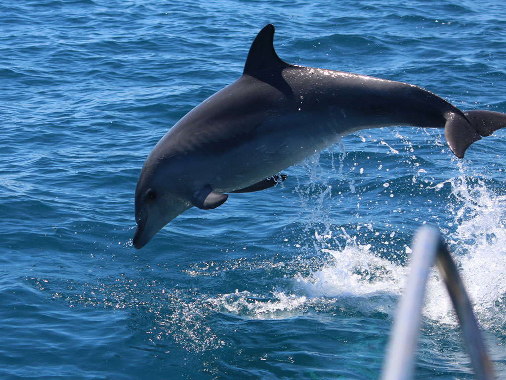 Grand dauphin (Tursiops truncatus)