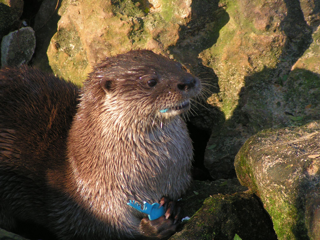 Long-tailed otter (Lontra longicaudis)