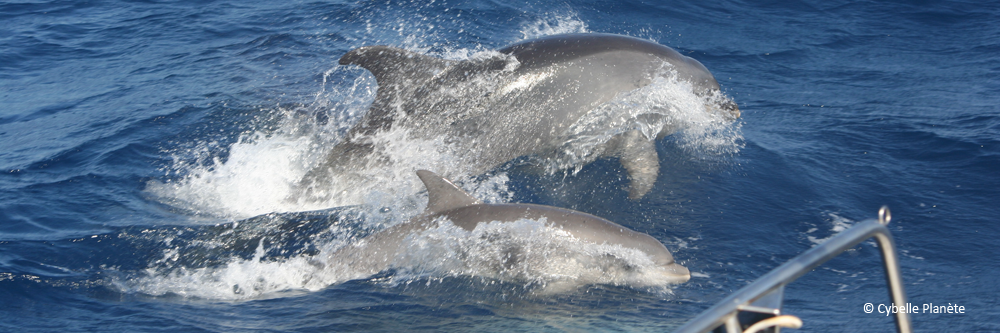 2 large dolphin