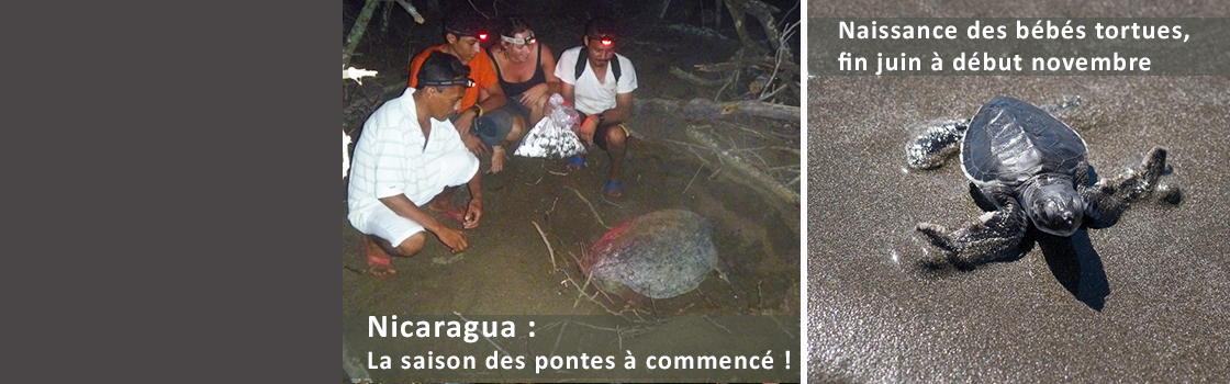 The nesting season for hawksbill turtles begins!