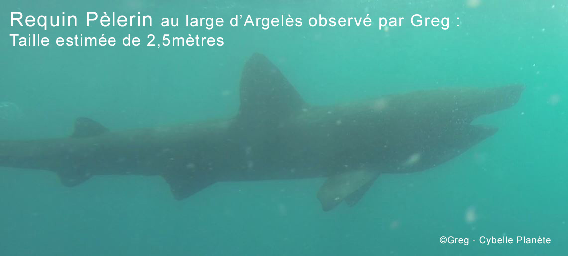 NL 48 Requin PlerinGreg