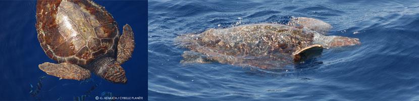 tortue marine, copyright Cybelle Planète