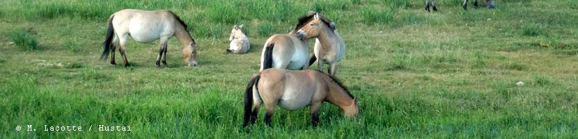 hustai chevaux