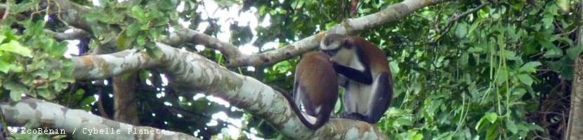 primatesbenin resume
