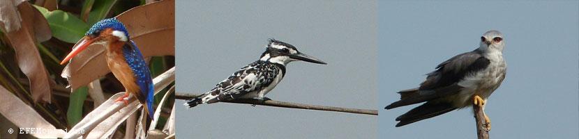 togbin oiseau3