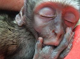 2020 animal rights bb monkey vervet sanctuary cybelle planet