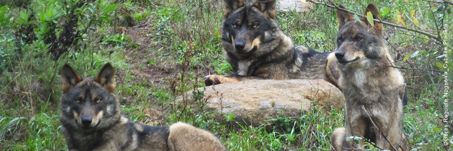 2021 02 newsletter Protect the Iberian wolves