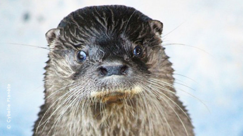 Conservation of long-tailed otters in Brazil