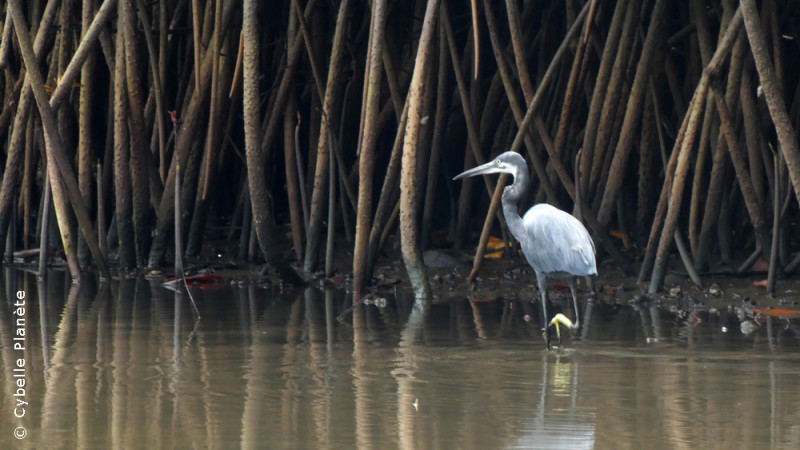 Study of birds and fauna of mangroves in Benin