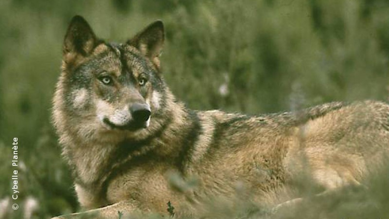 Sanctuary wolves in Portugal