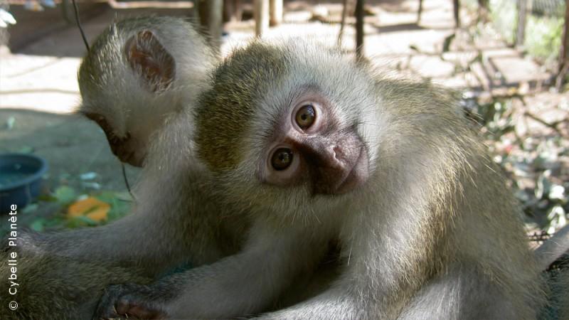 Sanctuary for vervet monkeys in South Africa