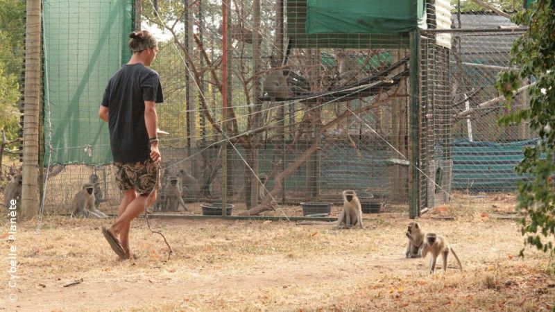 Sanctuary for vervet monkeys in South Africa