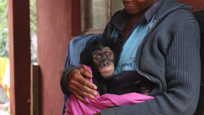 Chimpanzee Sanctuary in Sierra Leone