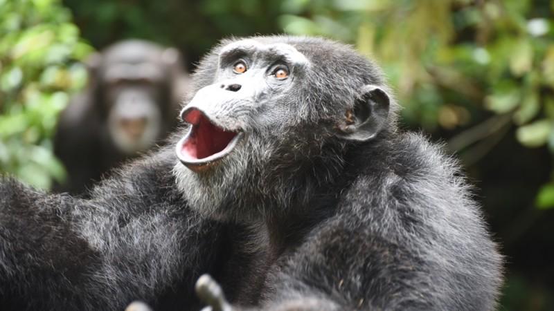 Chimpanzees, Sierra Leone