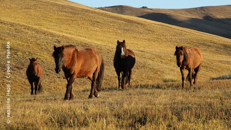 Przewalski horses, Mongolia