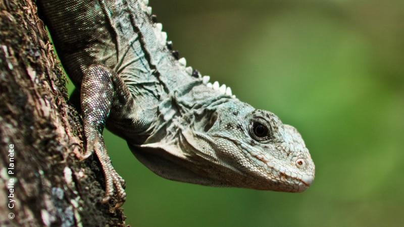 Iguana, Honduras