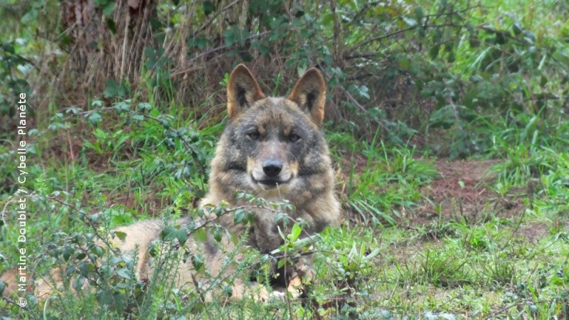 Iberian Wolf Sanctuary, Portugal