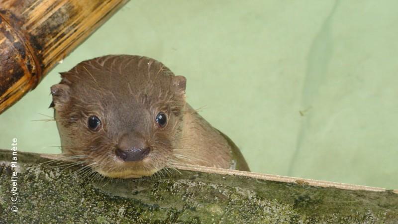 Long-tailed otter, Brazil