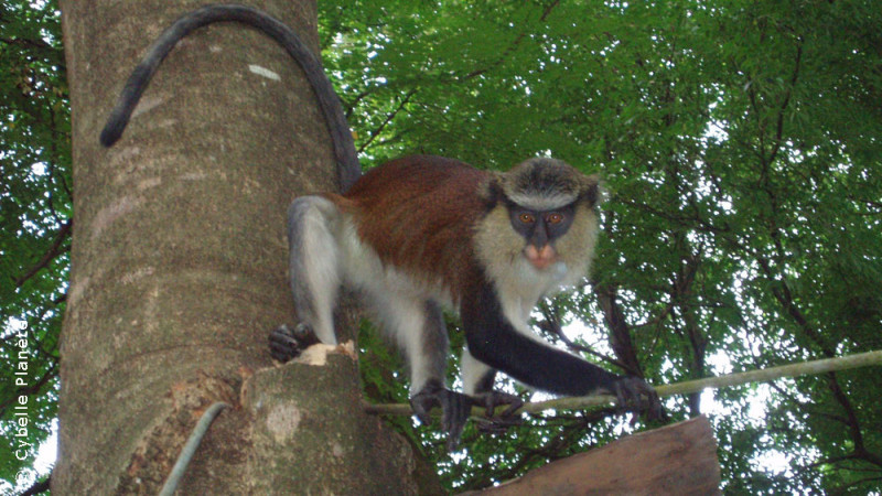 Study of primates in Benin